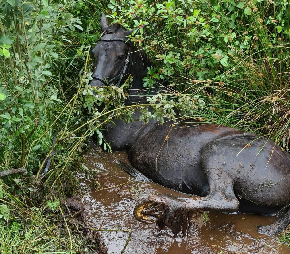Das Pferd in seiner mißlichen Lage.